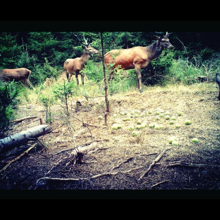20896aeae Nabízím roční povolenku k lovu v jelenářské oblasti Kladská cca 20 minut od  Mariánských Lázní o výměře 3 tis.ha. Povolenka za 50 tisíc obsahuje 1ks  jelena ...